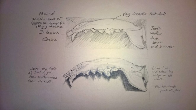 Sketch Coyote jaw